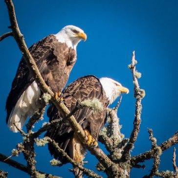 Eagles on Big Tree 2