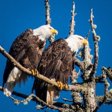 Eagles on Big Tree