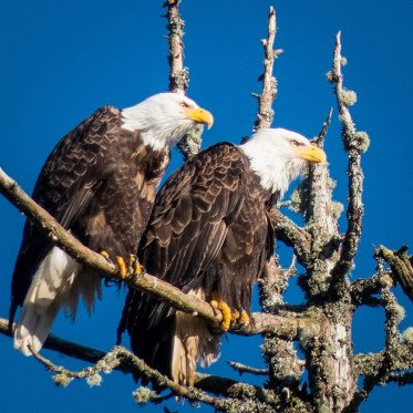 Eagles on Big Tree