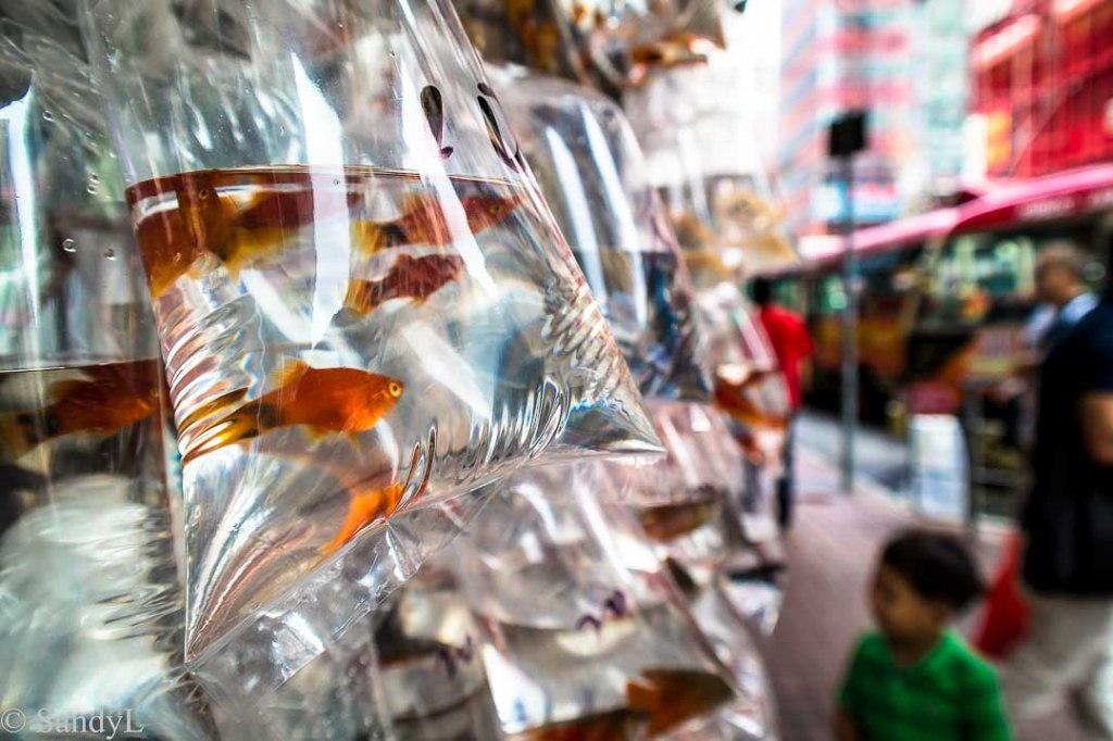 Gold fish for sale in plastic bags